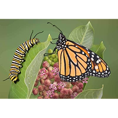 Temura 100+Common Milkweed Seeds Monarch Butterflies American Native Wildflower Garden : Garden & Outdoor