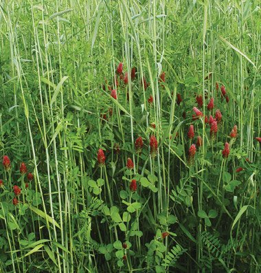 David's Garden Seeds Cover Crop Fall Green Manure DGS2613A (Multi) Open Pollinated One Pound Package