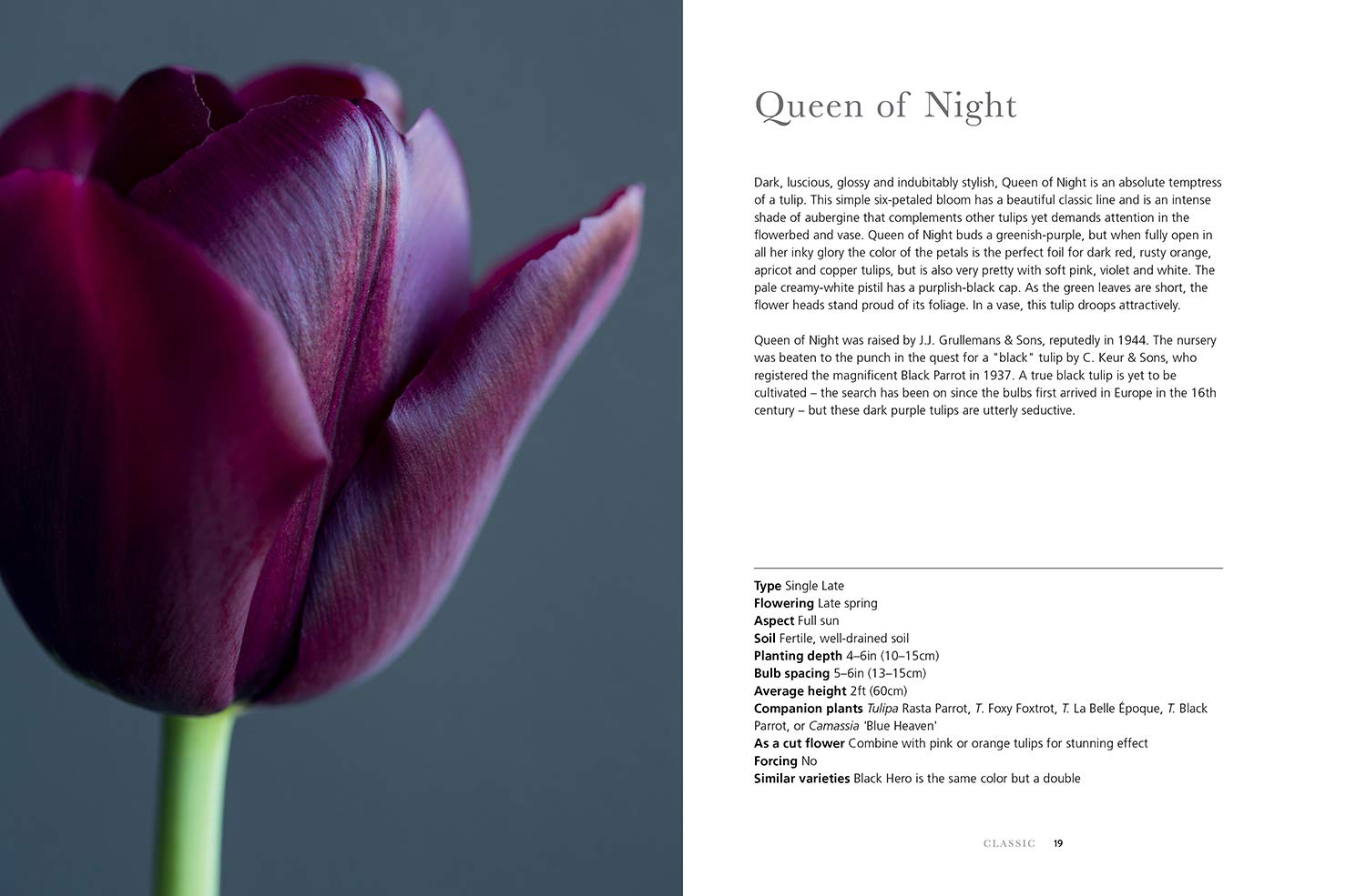 Single Late 20 Viridis Hortus 20 x Queen of Night 30 /& 40 Tulip Bulbs We ONLY Ship This Item with-in UK Available in Packs 10