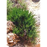 "TROPICA - Rosemary ""Provence"" (Rosmarinus officinalis) - 100 Seeds - Herbs"