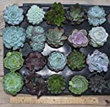 "Cheap 20 Misc Echeveria Mixed Succulents 2.5 "" Pots Great for Gifts and Wedding Favors"