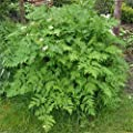 1000 Chervil Seeds,French Parsley(Medicinal Culinary Herb) Plant Spring/fall