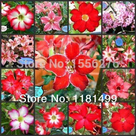 100 SEEDS - Multi-colored Adenium Obesum Seeds - Bonsai D...