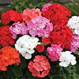 JPD Plants Geranium Parade Bedding Plants (170 Plug)