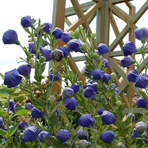 50 Seeds of Platycodon grandiflorus - Balloon Flower. Unusual Perennial with blue flower buds that puff up like balloons before bursting open!