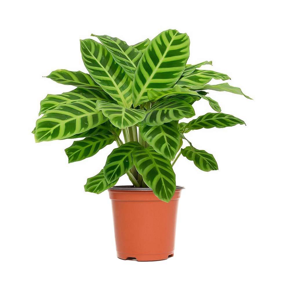 AMERICAN PLANT EXCHANGE Calathea Zebra Prayer Live Plant, 6'' 1 Gallon Pot, Indoor Air Purifier