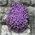 Package of 1,200 Seeds, Purple Rockcress Groundcover (Aubrieta deltoidea) Non-GMO Seeds by Seed Needs