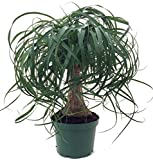 "Brussel's Bonsai DT-PTP6 Guatemalan Red Ponytail Palm - Beaucarnea - 6"" pot - Easy to Grow - Live Plant"