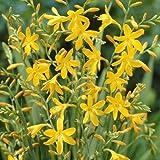Crocosmia George Davidson, Yellow (10 Bulbs) drought-tolerant,zones 6-10.