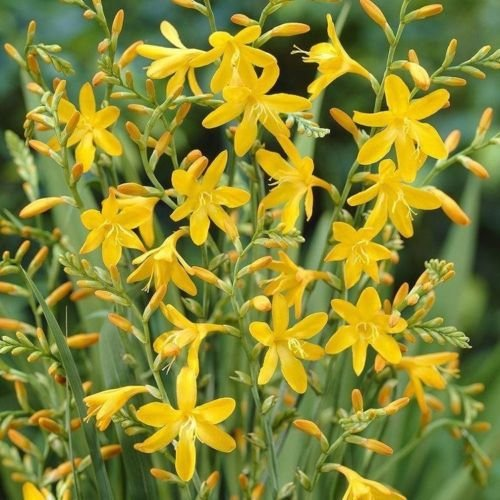 Crocosmia George Davidson, Yellow (10 Bulbs) drought-tolerant,zones 6-10. by Unknown