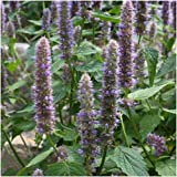 500 Seeds, Anise Hyssop Herb Seeds (Agastache foeniculum)