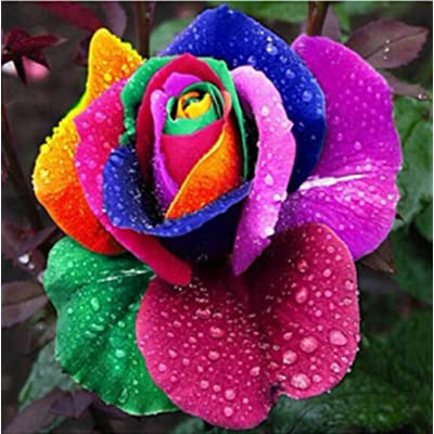WskLinft 300Pcs Colorful Rainbow Rose Flower Seeds Bonsai Plant for Indoor and Outdoor All Seeds are Heirloom, 100% Non-GMO! Home Garden Yard Decor - 300pcs Rose Seeds : Garden & Outdoor