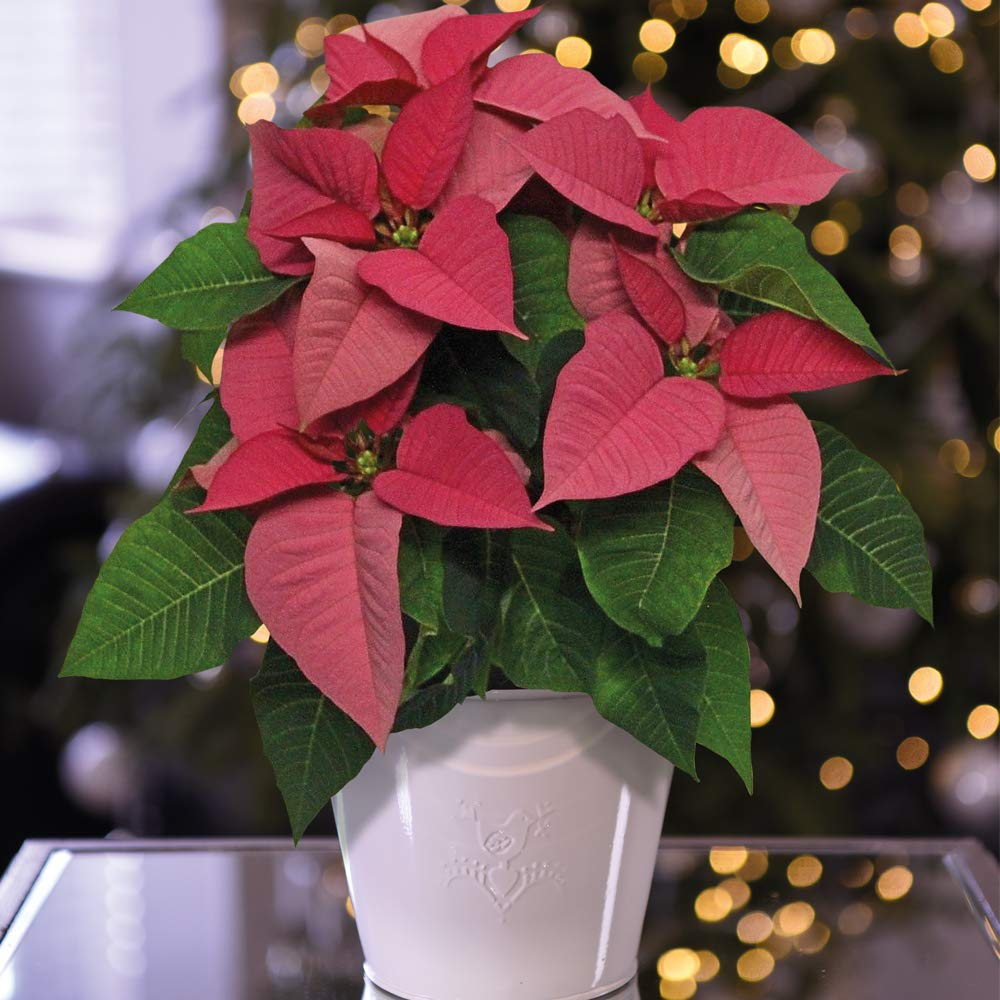 Gift Wrapped by Thompson and Morgan Poinsettia 1x /'Premium Pink/' in 13cm Zinc Pot