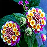 Lantana Camara Flower Seeds Non-genetically Modified Seeds DIY Home Garden Planting(seeds only)