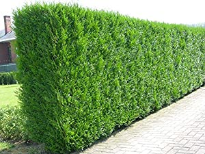 10x thuja plicata evergreen hedge plants western red. Black Bedroom Furniture Sets. Home Design Ideas