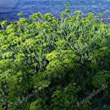 CROSO Seeds PACAKGE ONLY NOT Plants: Crithmum Maritimum tic Flavouring Sea Fennel Rock Samphire