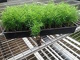 Ming Fern Seeds - Asparagus-myriocladus(20 Seeds) Rare ornamental asparagus
