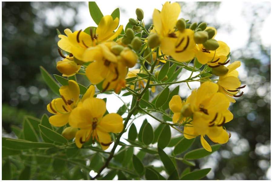 Senna sulphurea gorgeous yellow flowered tropical plant packet of 10 fresh seeds