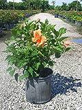 PlantVine Hibiscus rosa-sinensis 'Double Peach', Tropical Hibiscus - Tree or Bush - Large, Bush - 8-10 Inch Pot (3 Gallon), Live Plant