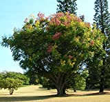 10 Seeds Koelreuteria elegans subsp. formosana Chinese Rain Tree, Chinese Flame Tree