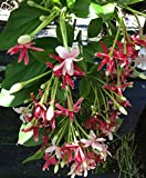 RANGOON CREEPER Rare Double Red Pink Bloom Form Fragrant Flowering Vine Live Tropical Quisqualis Plant Starter Size 4 Inch Pot Emerald TM