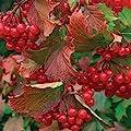 American Highbush Cranberry, Viburnum Trilobum, Shrub 30 Seeds