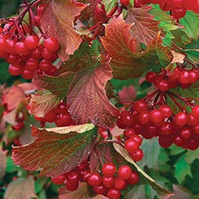 American Highbush Cranberry, Viburnum trilobum, Shrub Seeds (Showy, Fall Color) 30