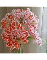 Amaryllis Dancing Queen 24/26 - 1 flower bulb by Aytekin Garden