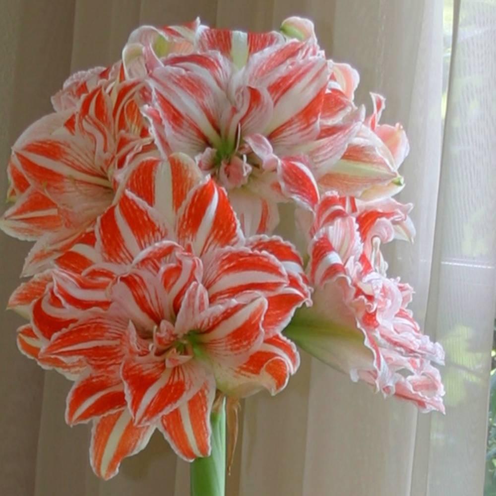 Amaryllis Dancing Queen - 1 bulbe de fleur Jardinpourvous