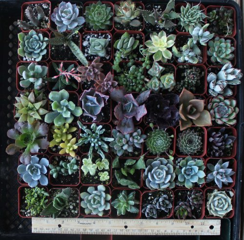Jiimz 30 Assorted Succulent Plants product image