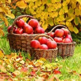 OFILA Apple Orchard Backdrop 5x5ft Autumn Harvest Season Fallen Leaves Thanksgiving Day Holidays Party Background Baby Shower Theme Photos Kids Photos Outside Farm Manor Grass Land Toddler Shoot Props