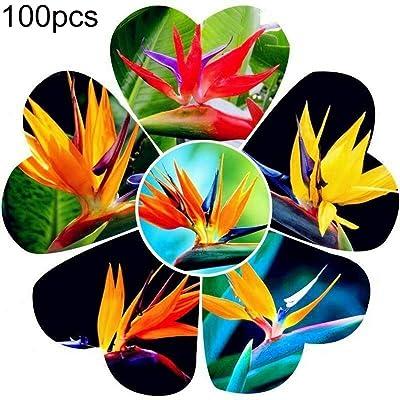 newshijieCOb 100Pcs Mixed Color Strelitzia Seeds Ornamental Plant Flower Home Office Garden Balcony Yard Bonsai Floral Decor - Strelitzia Reginae Aiton Seeds : Garden & Outdoor