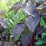 Elephant Ear COLOCASIA ESCULENTA Plant 'Black Magic' Rhizome/Tuber/Comer Bulb