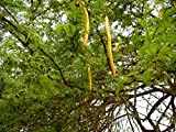 10 Seeds Prosopis chilensis (Large Fruited) Chilean Carob Tree