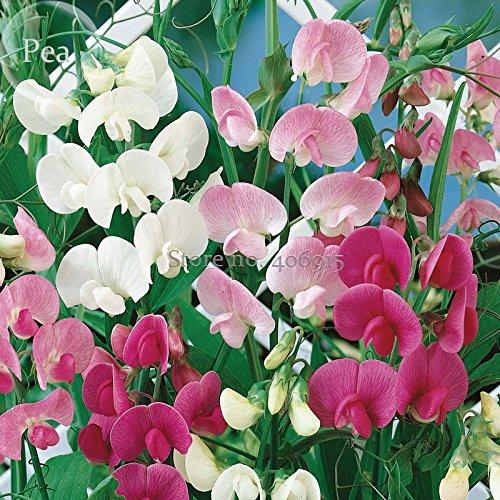 New Heirloom Mixed Latifolius Sweet Pea, 8+ Seeds, perennial plant E3572 -