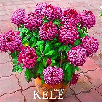 10 grandes pedazos / porción semillas crisantemo, raras plantas Semillas de flores de jardín en macetas, tapa blanda bonsai habitación con balcón, # K4S0XP: Amazon.es: Jardín