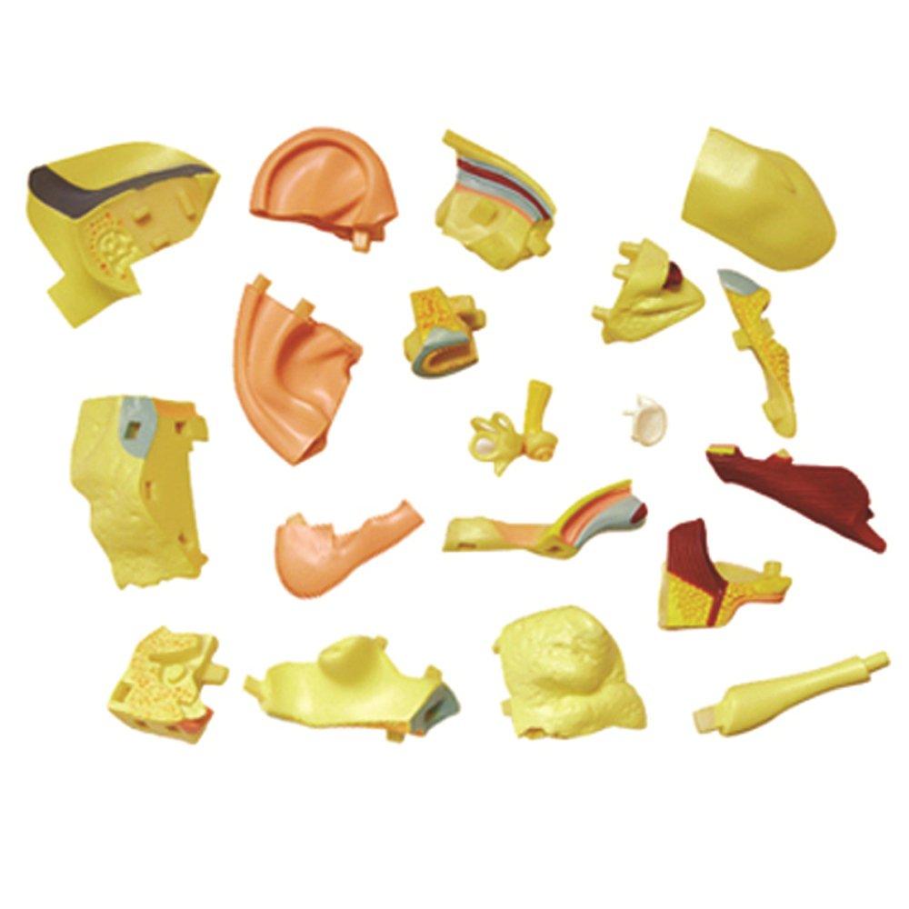 Amazon.com: Famemaster 4D-Vision Human Ear Anatomy Model: Toys & Games