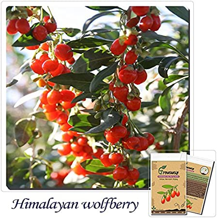 Amazon Com Mayan Seeds Llc Himalayan Goji Berry Seeds
