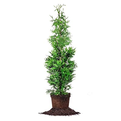 Arborvitae Green Giant: Well Established: Container Size: #1 : Shrub Plants : Garden & Outdoor