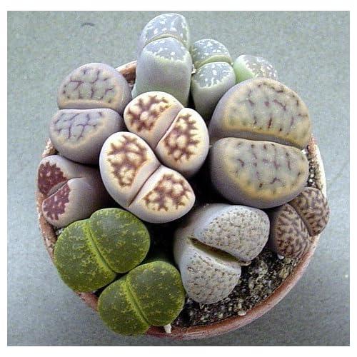 "Cheap (CS)~""LIVING STONES"" SUCCULENT~Seeds!!!~~~~~~~~~~Lots of Lithops Varieties!"