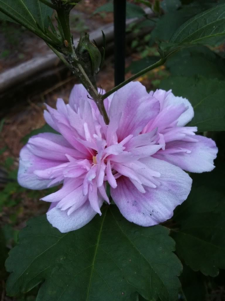 50 LIGHT PINK DOUBLE ROSE OF SHARON HIBISCUS Syriacus Flower Tree Bush Shrub Seeds Mix *Comb S/H