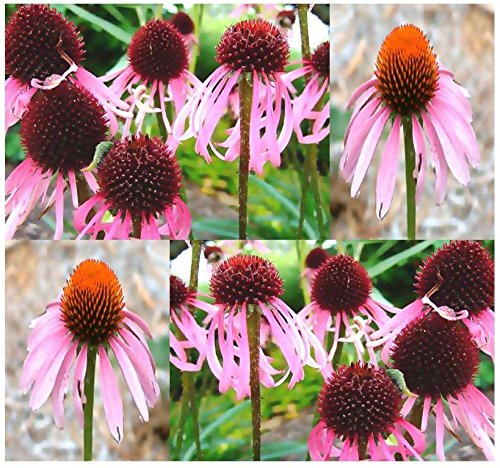 (50) Pale Purple Cone-flower Flower Seeds - Echinacea pallida