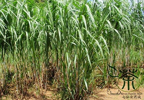 Ugandan Grass Pennisetum Purpureum Seeds 2000pcs, Family Poaceae Napier Grass Forage Seeds, Perennial Herbs Elephant Grass Seeds