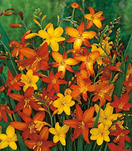 Live Plant Crocosmia Mix Color Flower Bulb Summer Blooming Perennial by bossplant