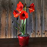 Amaryllis Ferrari in a Festive Holiday Red Beaded Basket - Potted Amaryllis Gift!   Ships from Easy to Grow TM