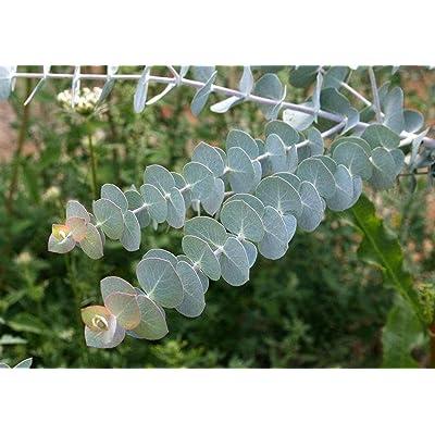 20+ Eucalyptus Dwarf Baby Blue Spiral, Canes to Start, Fragrant Tree or Bush Seeds : Garden & Outdoor