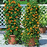 New Thunbergia Alata - Black - Eyed Susan Vine , THUNBERGIA , 55 + SEEDS !