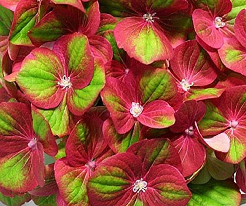 Tilt a Swirl Mophead Hydrangea - Live Plant - Quart Pot by New Life Nursery & Garden