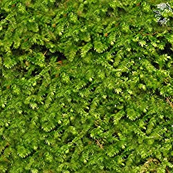 Luffy Wild Christmas Moss in Loose Form by Lush, Green Moss for Aquarium Decor - Create a Moss Wall or Moss Carpet - Soft and Comforting for Fish - Shrimp's & Fry's Food source - Easy maintenance