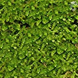 Image of Wild Christmas Moss in Loose Form by Luffy - Lush, Green Moss for Aquarium Decor - Create a Moss Wall or Moss Carpet - Soft and Comforting for Fish - Shrimp's & Fry's Food source (Wild Moss)